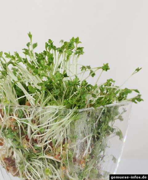 gartenkresse kresse lepidium sativum. Black Bedroom Furniture Sets. Home Design Ideas