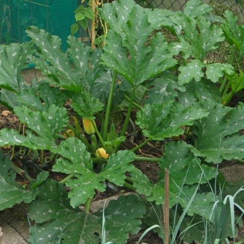 Zucchini-Pflanze