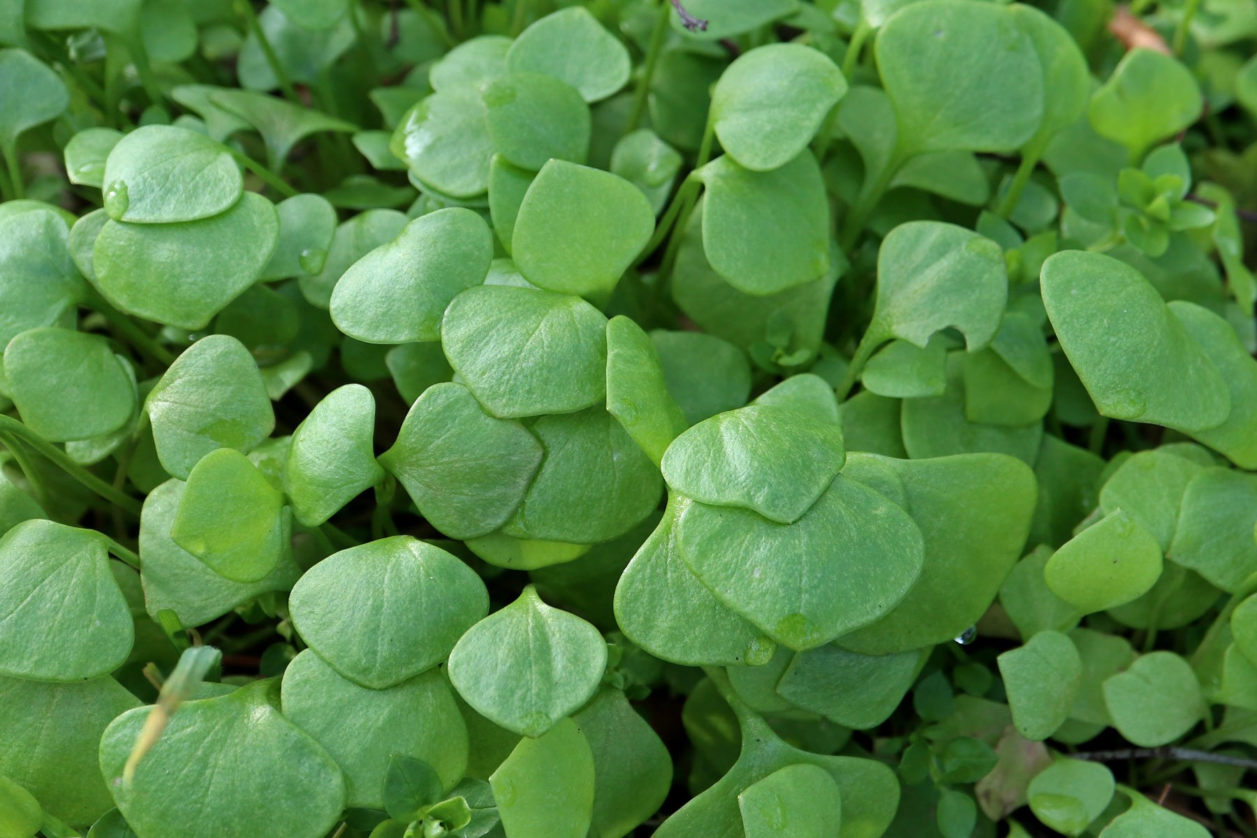 Winter-Portulak Blätter