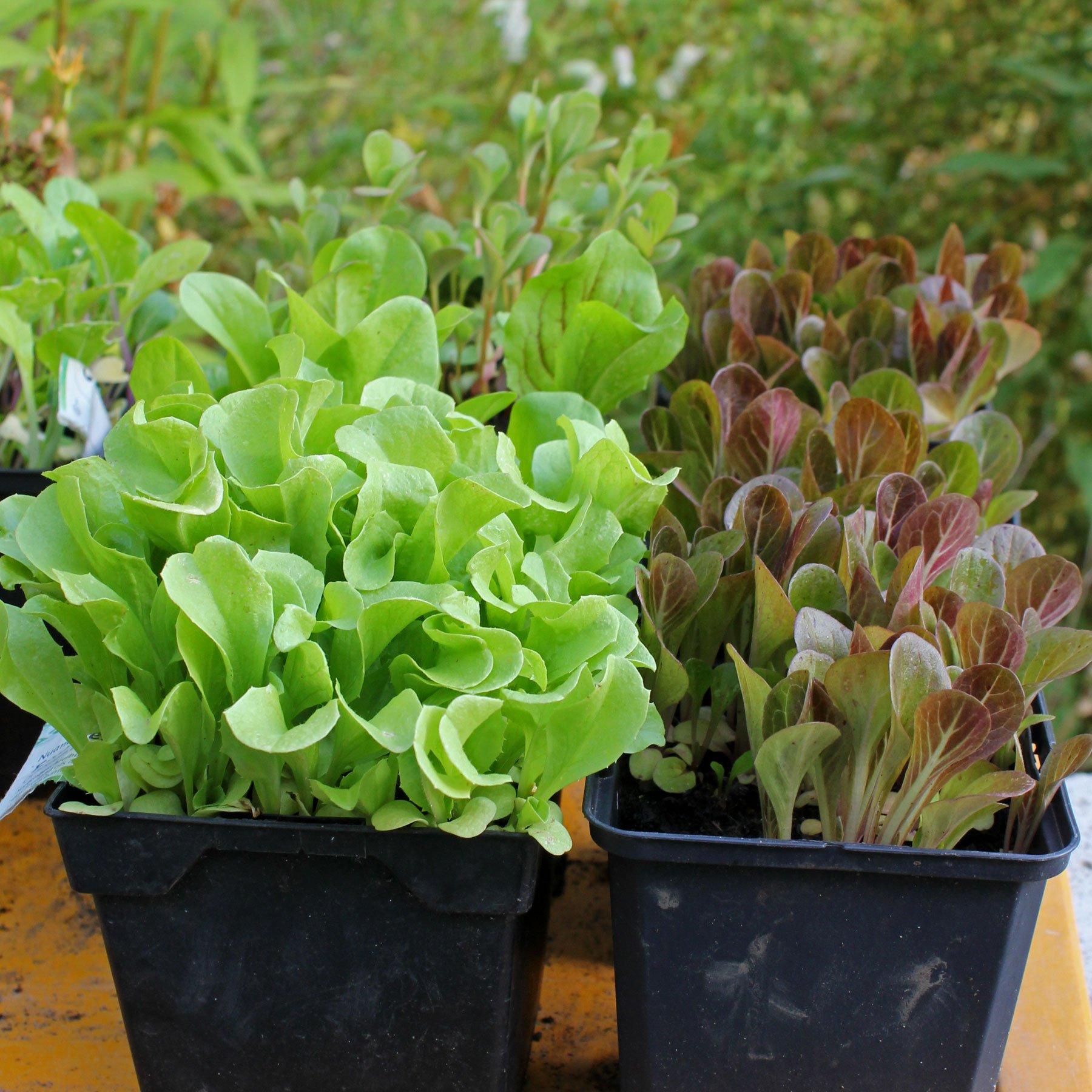 Baby-Leaf-Salat