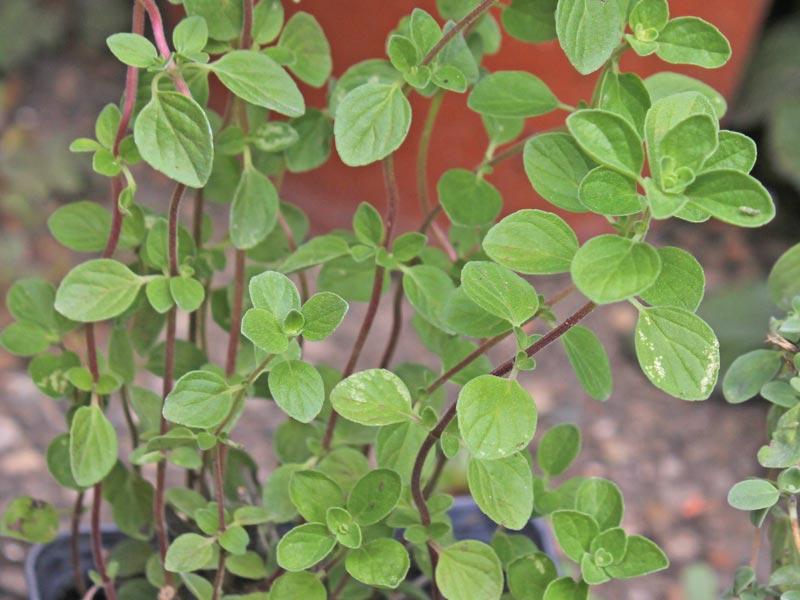 Origanum × majoricum