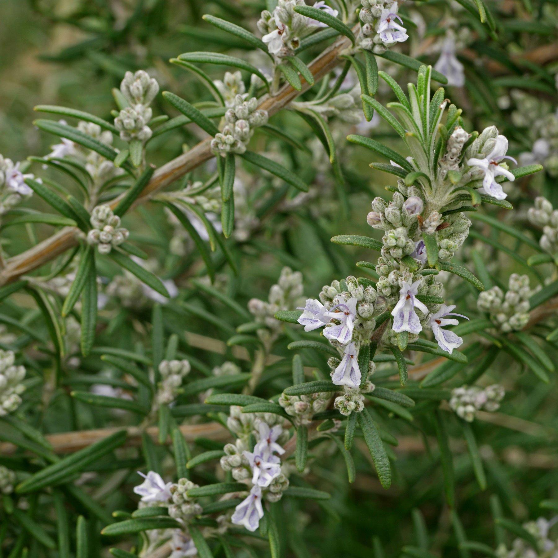 Rosmarin Blüten