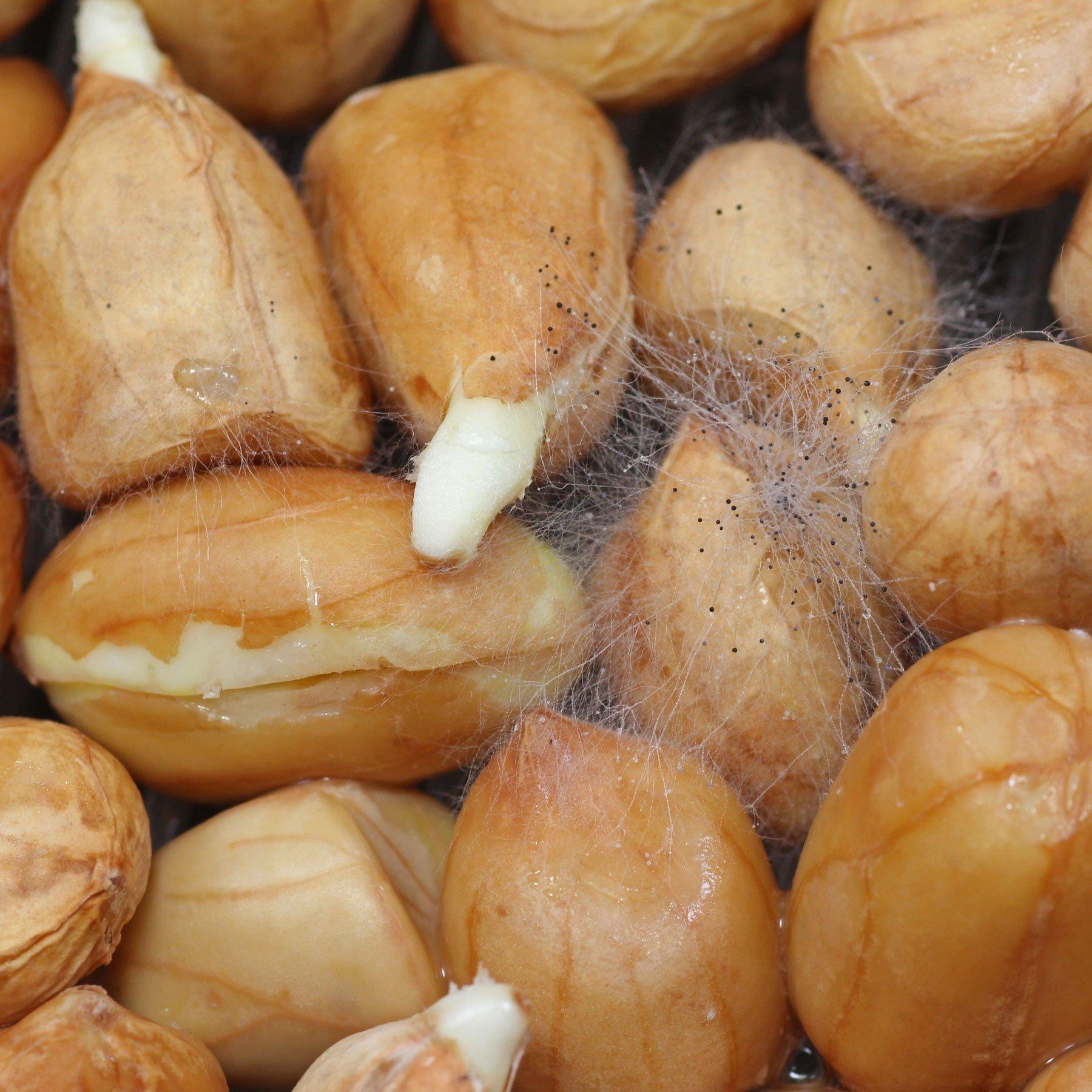 Erdnuss Keimlinge mit Schimmel