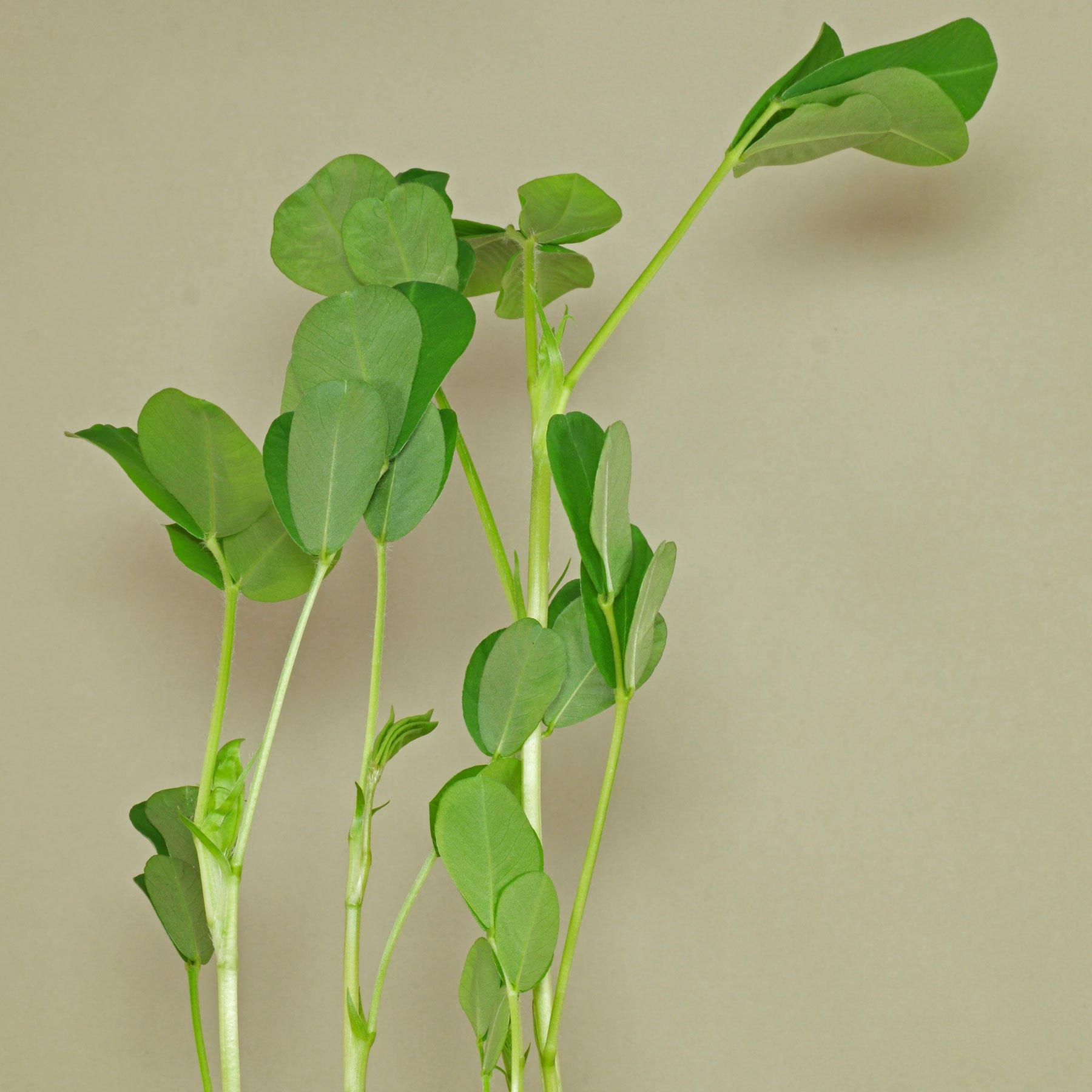 Erdnusspflanze Schlafstellung