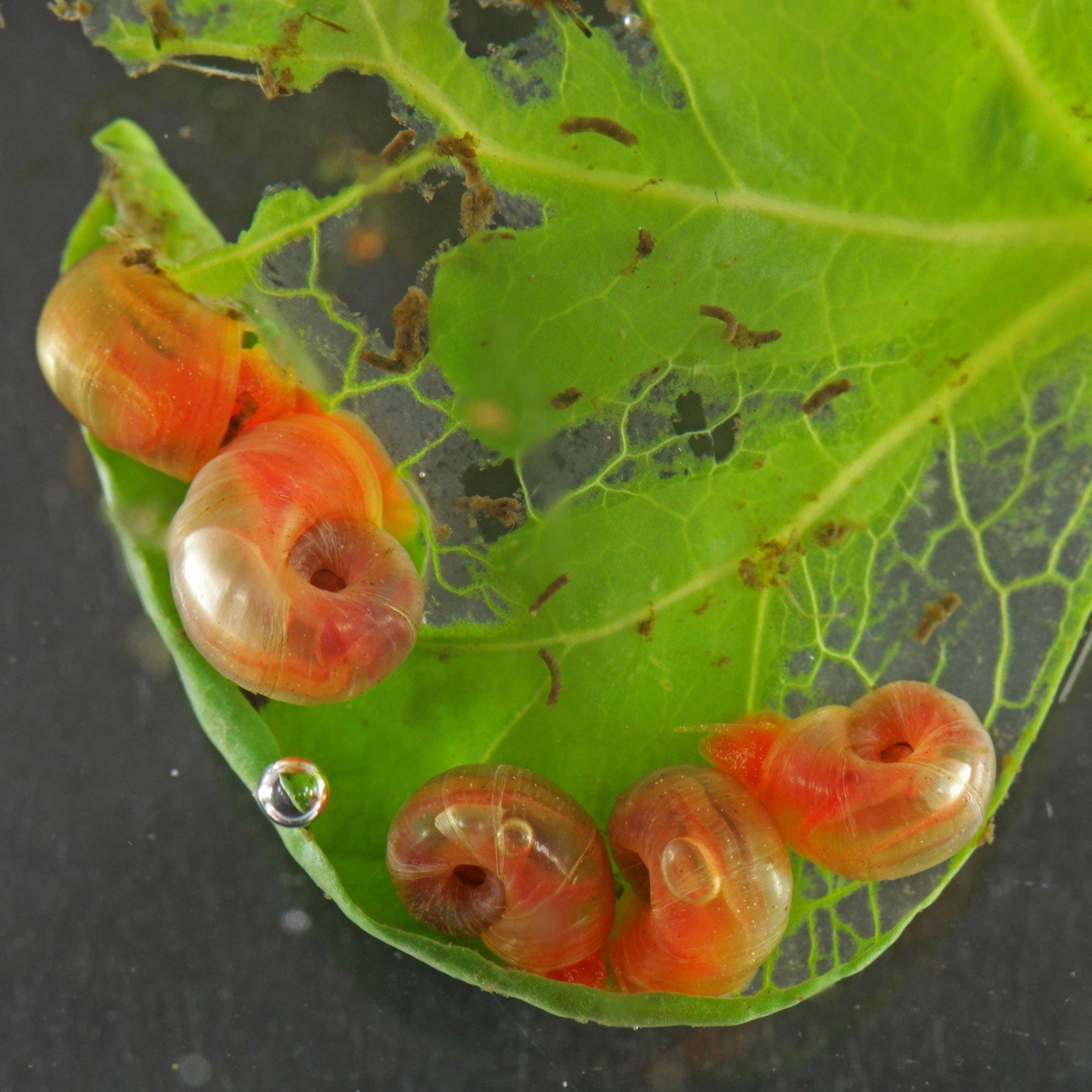 Posthornschnecken Kaffeepflanzen